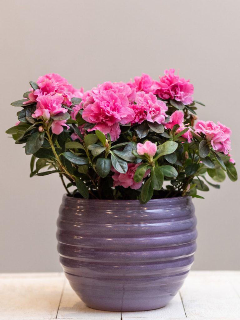 azalea-houseplant